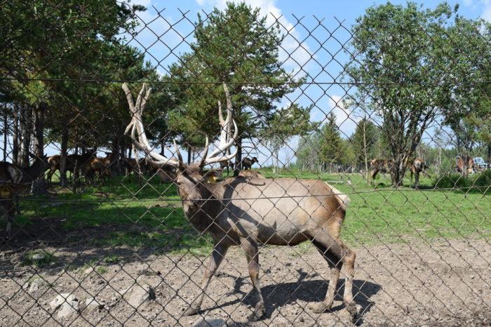 Висим: дом-музей М.-Сибиряка + хаски, олени и Уральские горы